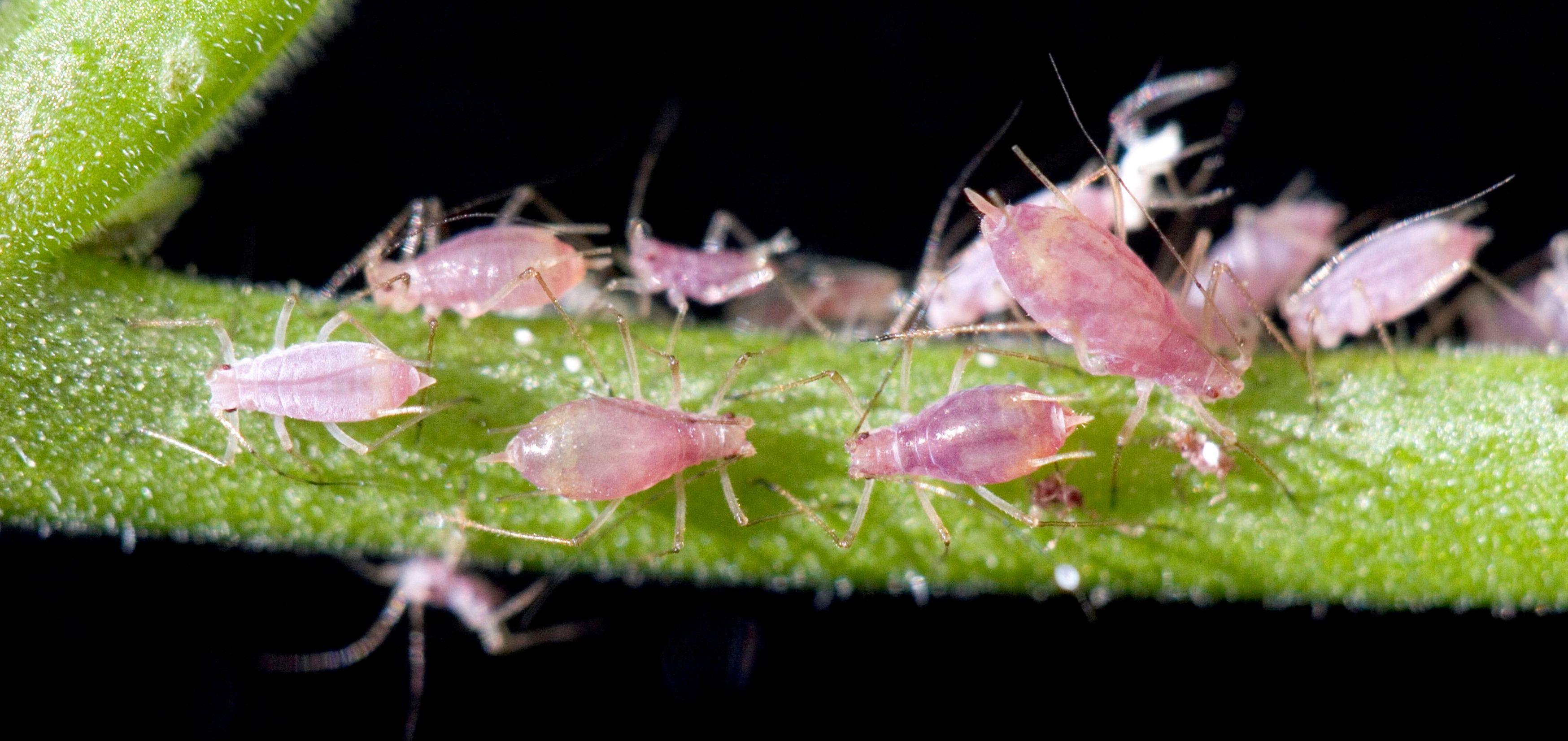 Для борьбы с тлями растения используют бактерий-предателей