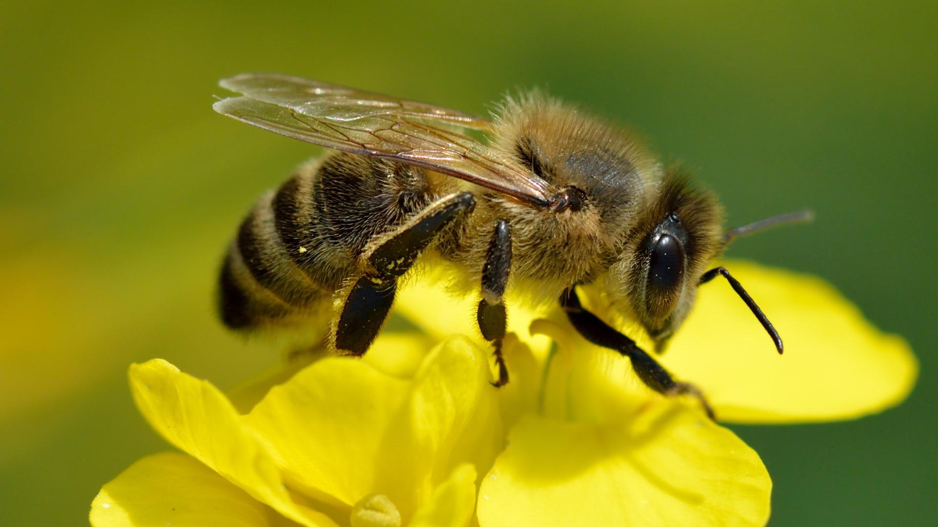 Одного грамма пестицида оказалось достаточно для опьянения 20 миллиардов пчел