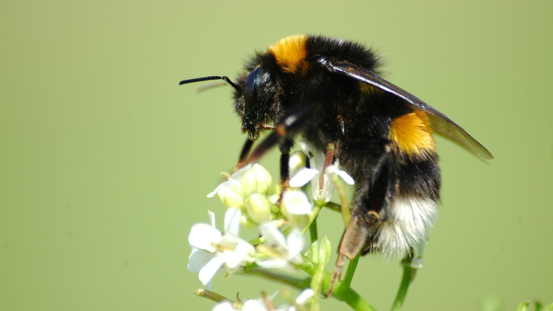 Заменители опасных для пчел пестицидов все равно навредили шмелям