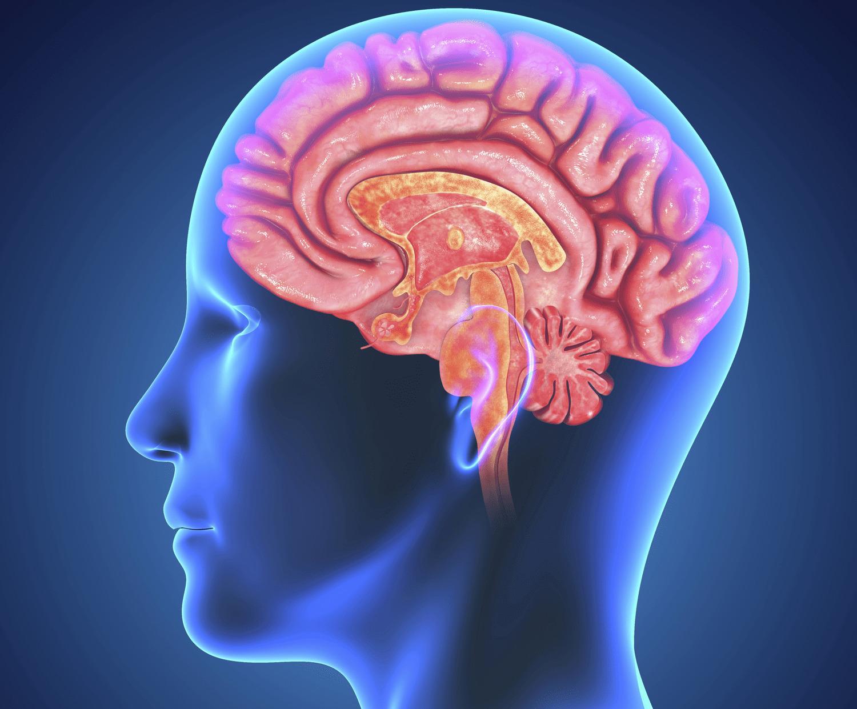 Биологи выяснили, как мозг избавляется от мусора