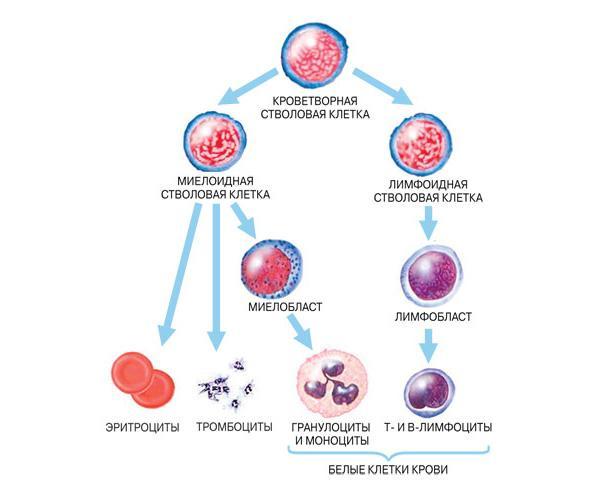 в центре внимания раковые стволовые клетки