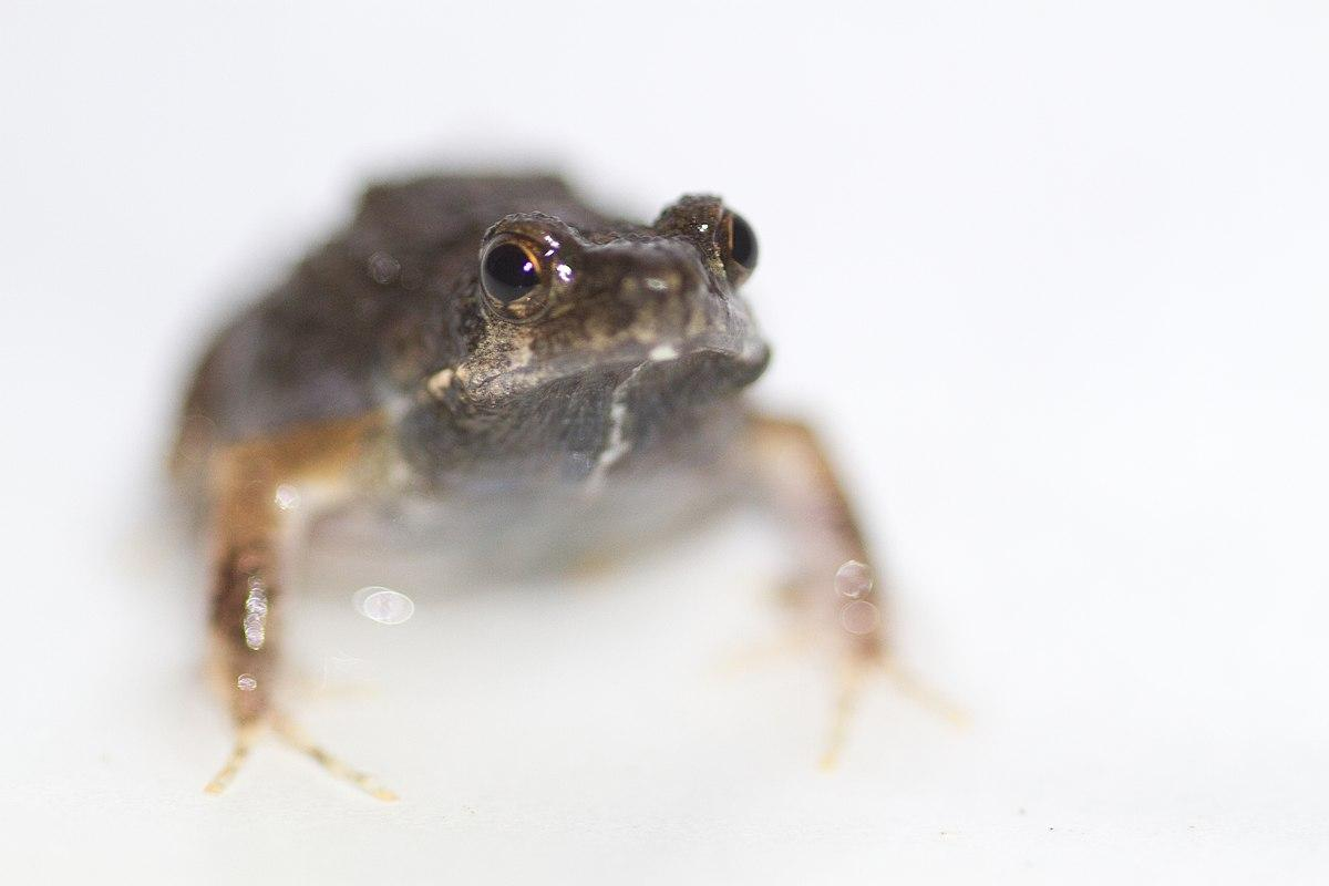 Почему самки лягушки не всегда выбирают лучших самцов