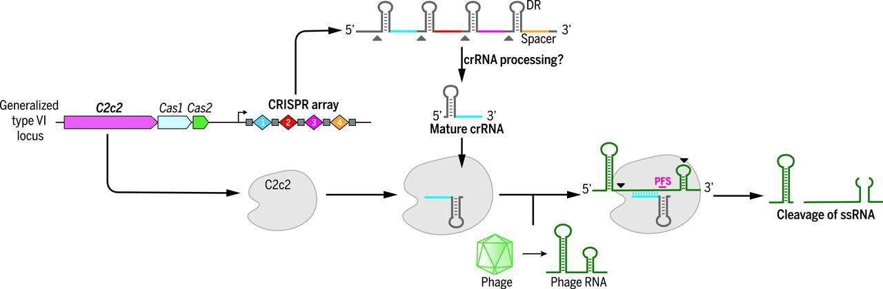 Новая система CRISPR сможет глушить гены на уровне РНК