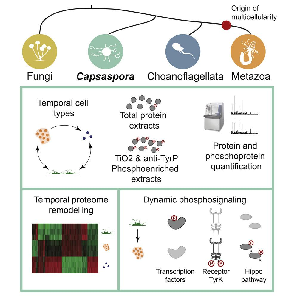 Как многоклеточные научились управлять своими клетками