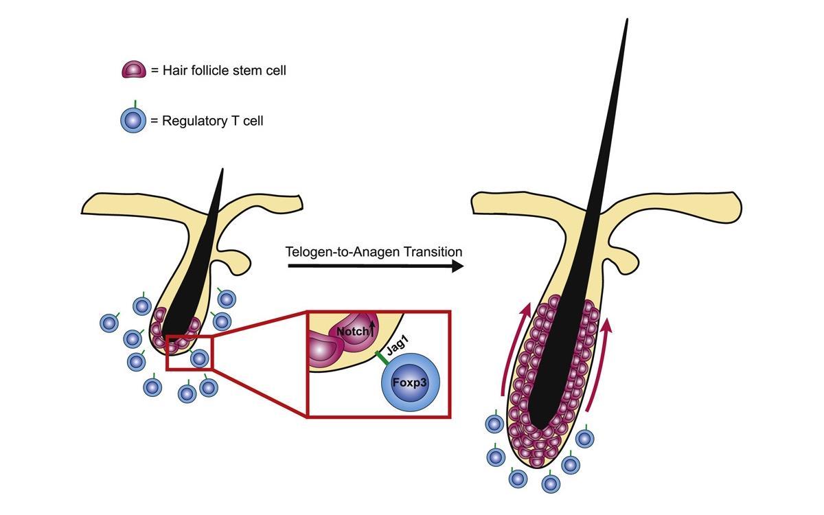 Иммунитет помогает волосам расти