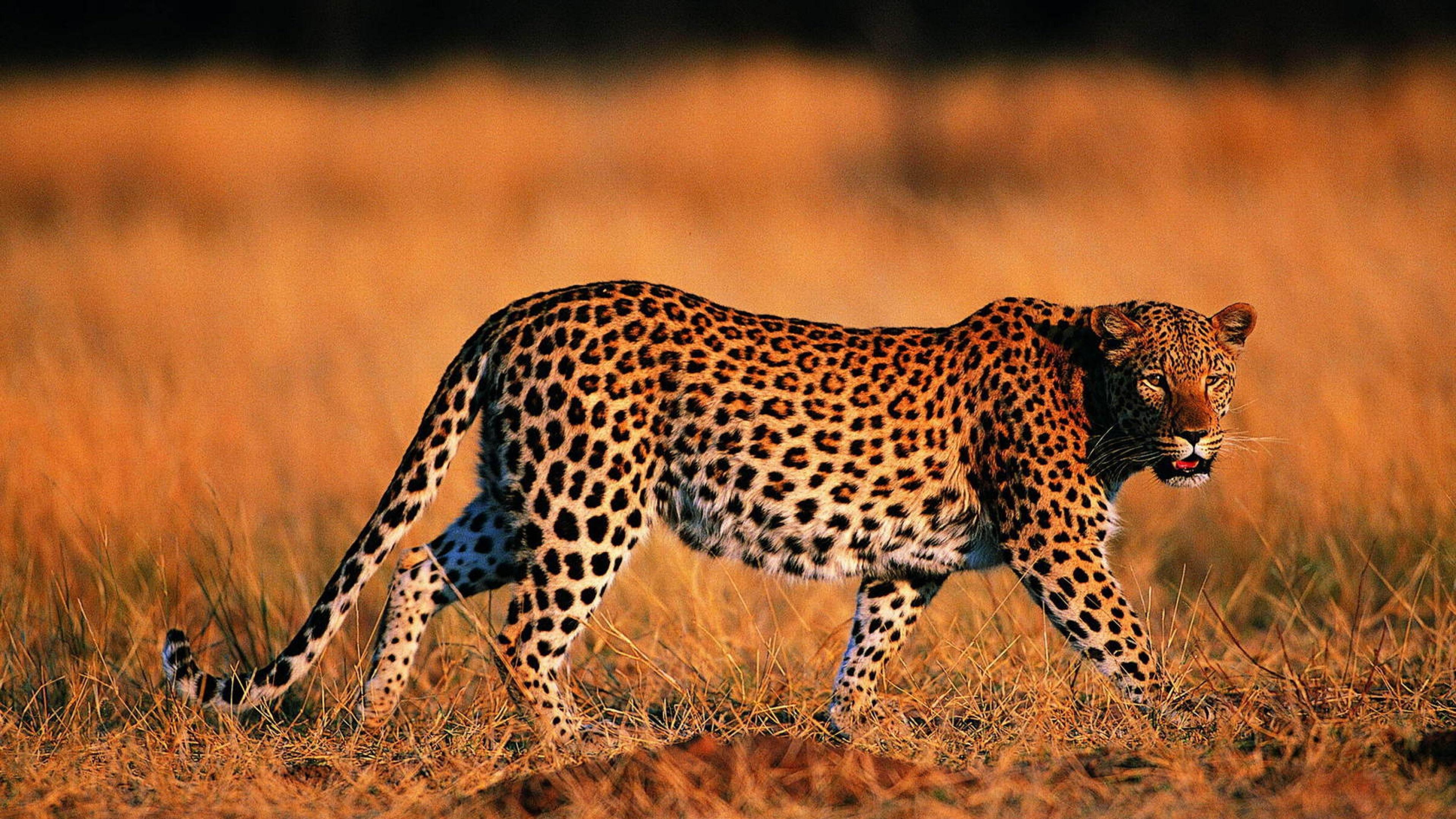 Общительные хищники умнее одиночек