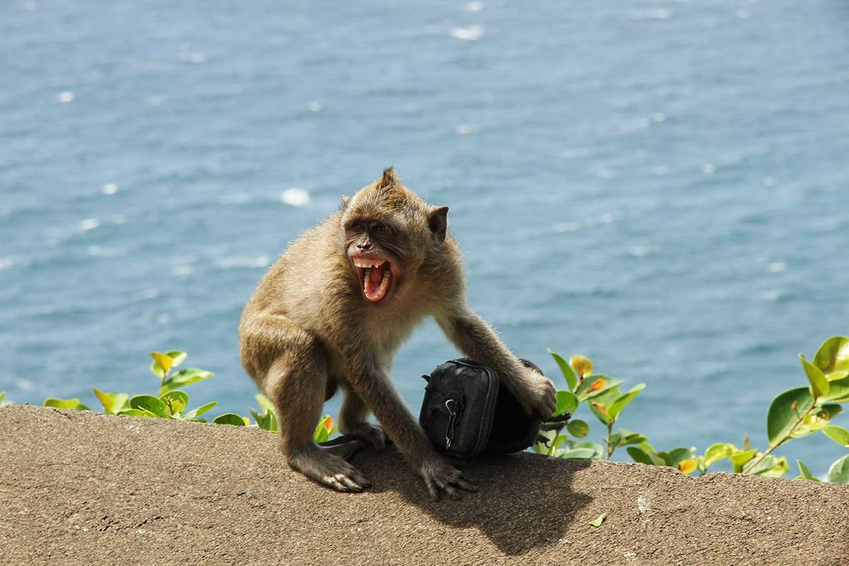 Балийские макаки освоили шантаж