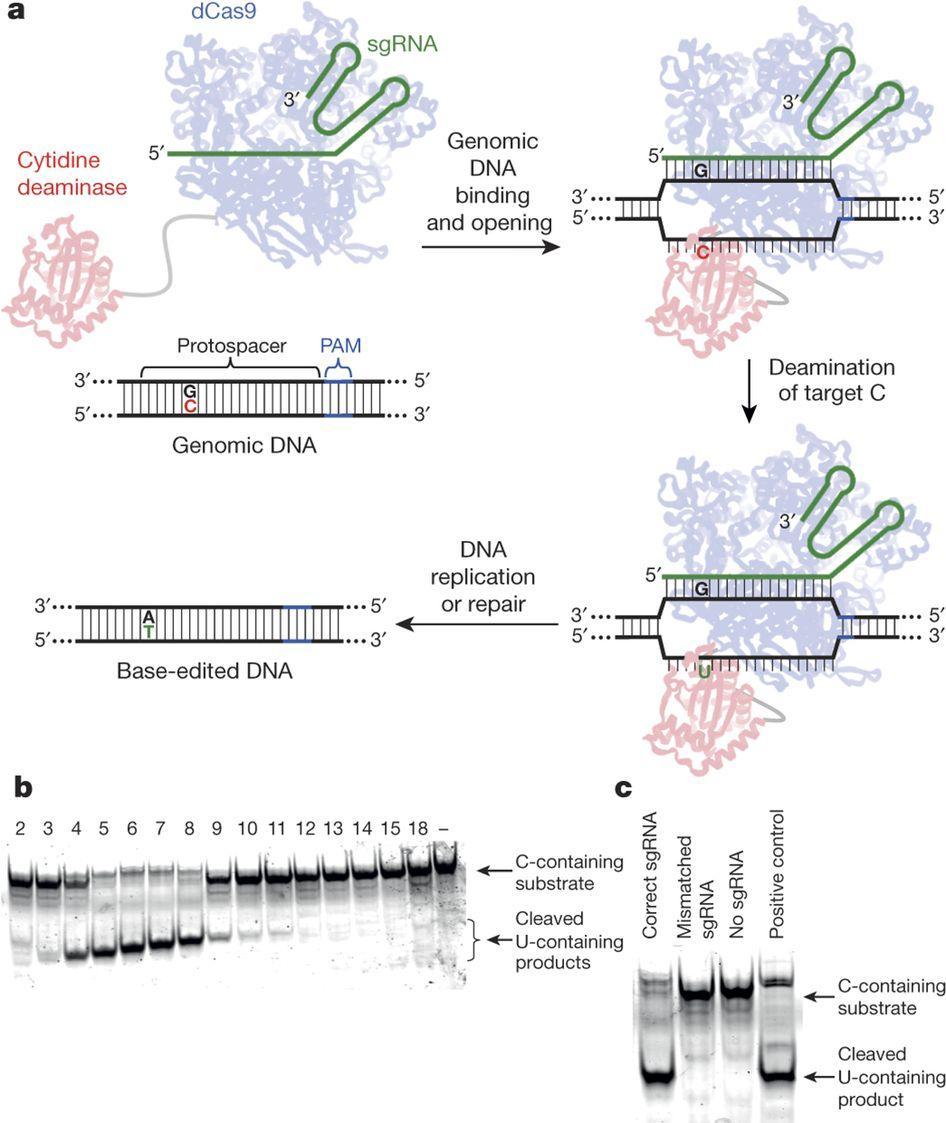Редактирование генома добралось до точечных мутаций