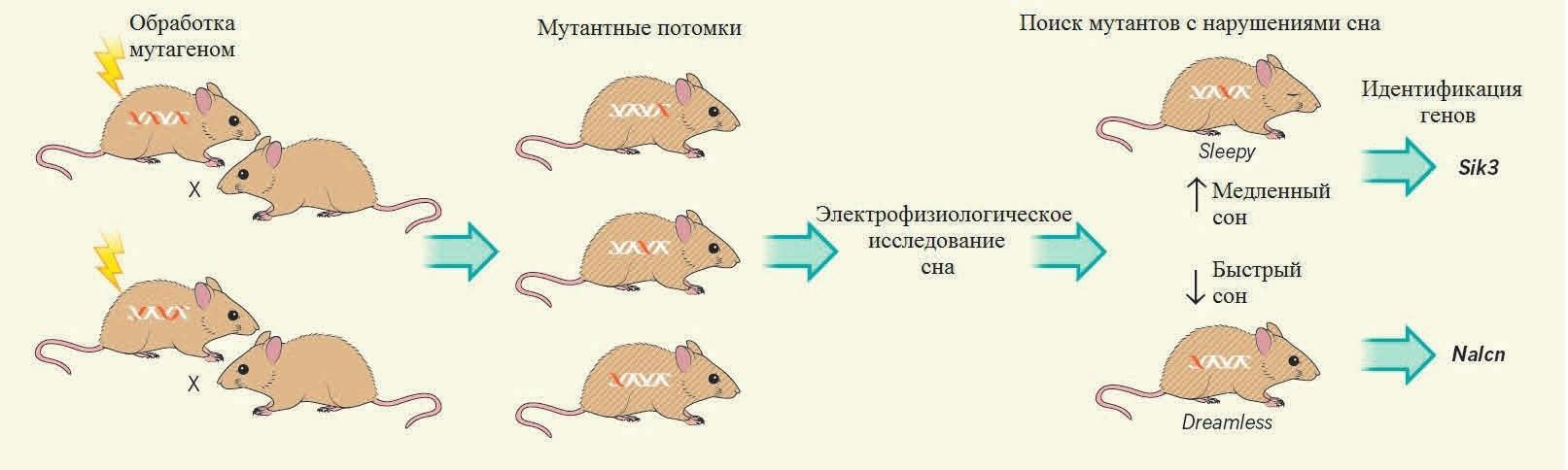 Найдены гены быстрого и медленного сна у мышей