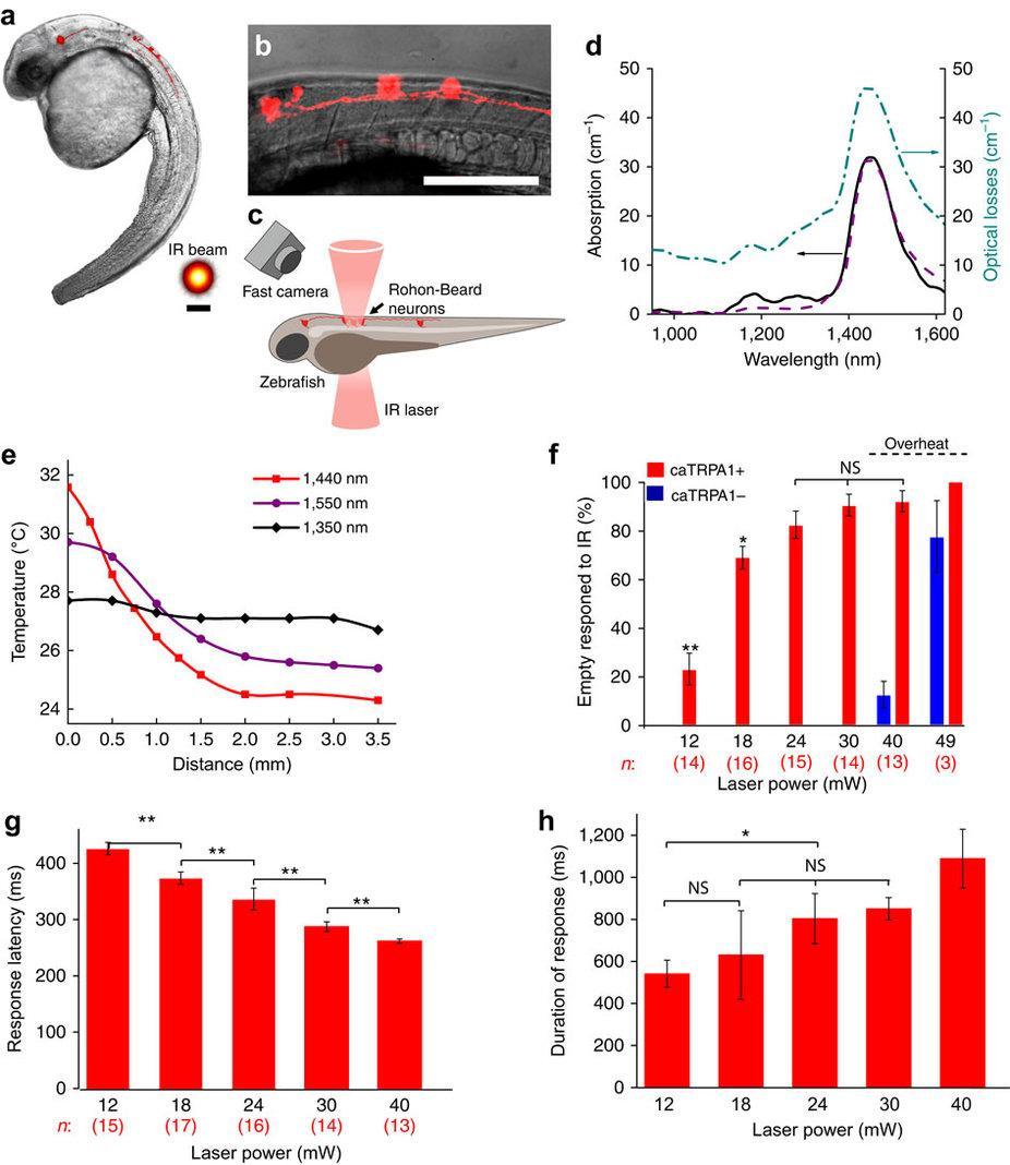 Биологи научились включать нейроны теплом