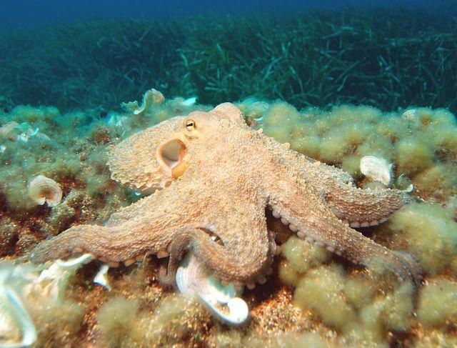 зоологи описали уникальную координацию осьминогов