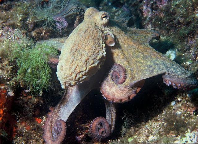 осьминог не путается в ногах