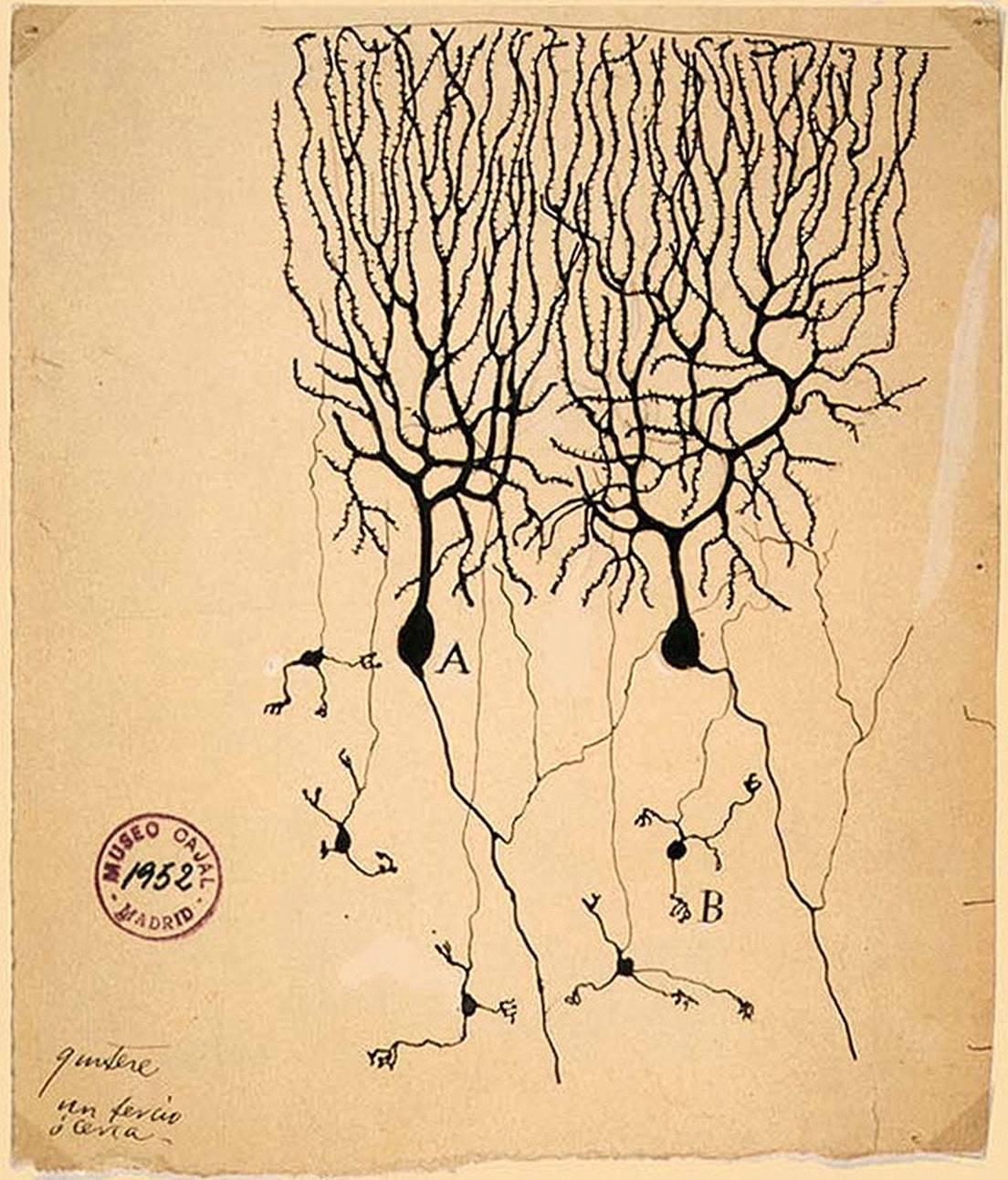Нейронауки для всех. Детали: клетки Пуркинье