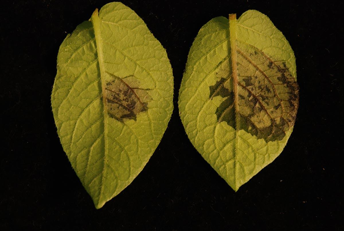 Растения чуют вредителей