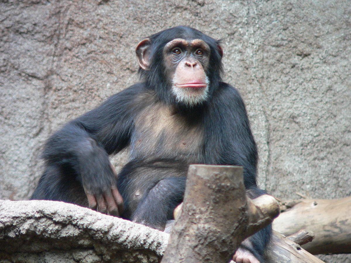 В США запретили биомедицинские исследования на шимпанзе