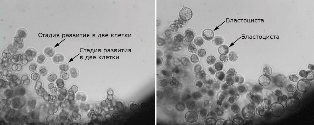 Китайцы вырастили мышиные эмбрионы на орбите