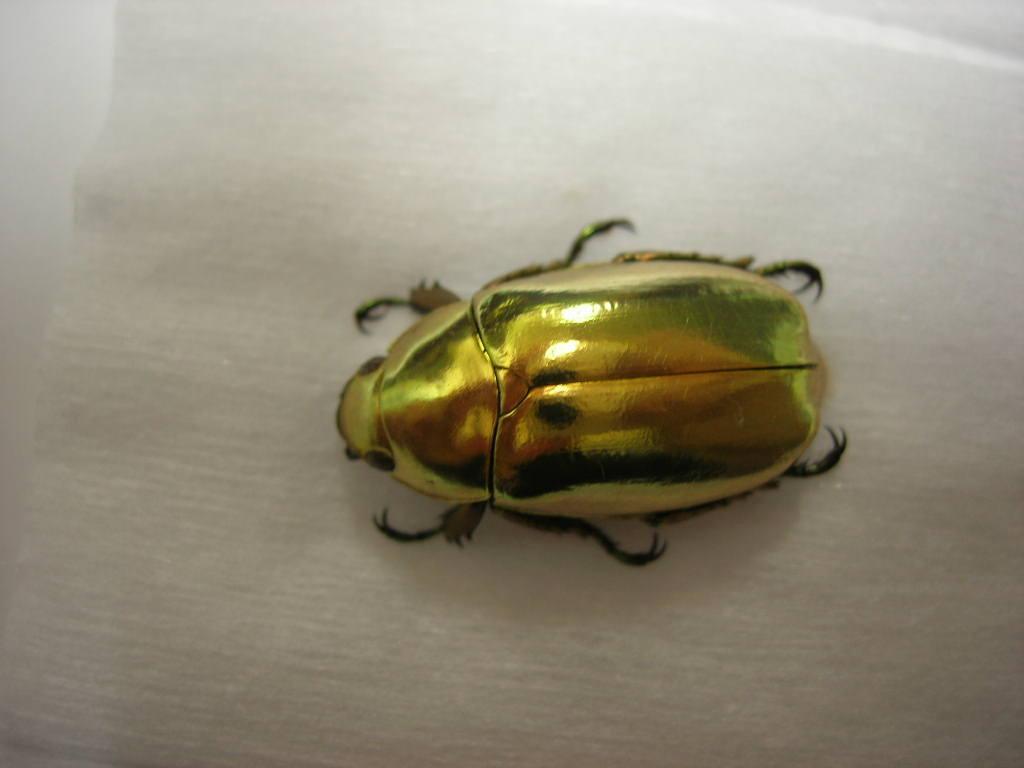 физики объяснили зеркальную неразборчивость золотистого жука