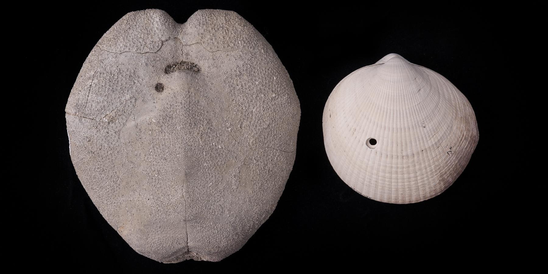 Хищные моллюски заставили своих жертв эволюционировать