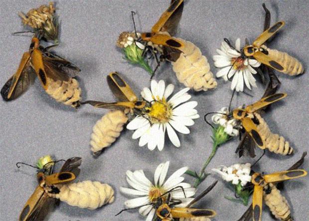 Грибок превратил самок жуков в привлекательных «зомби»