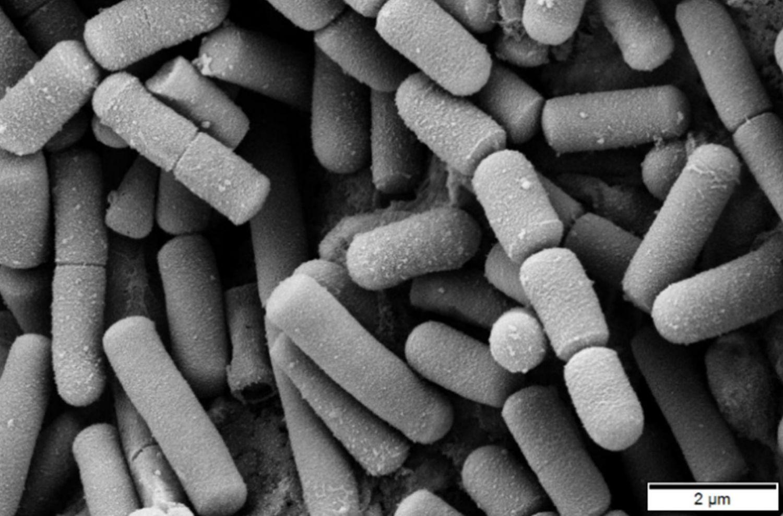 бактерии вечной молодости
