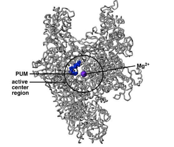 новый антибиотик не позволит бактериям синтезировать РНК