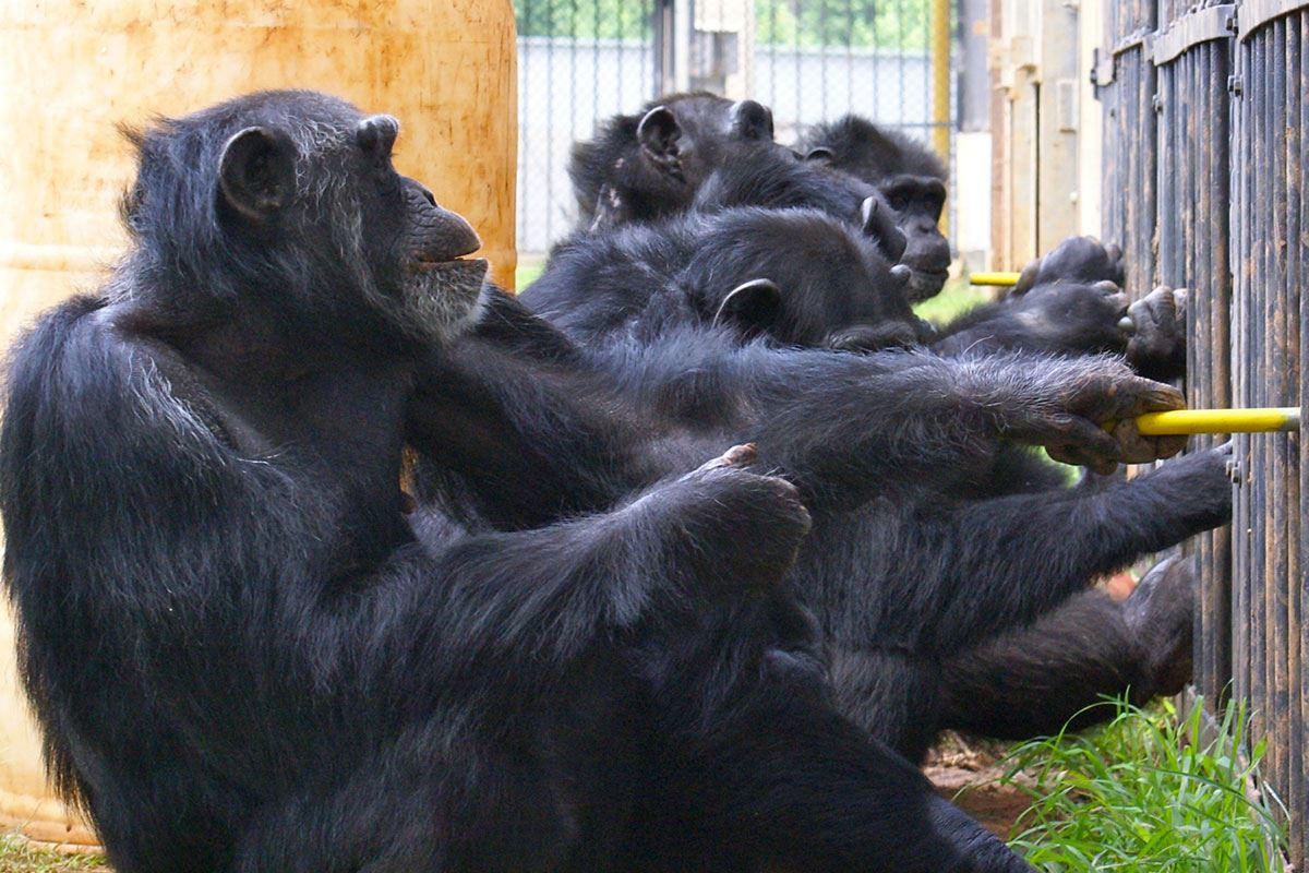 ученые научили шимпанзе сотрудничать друг с другом