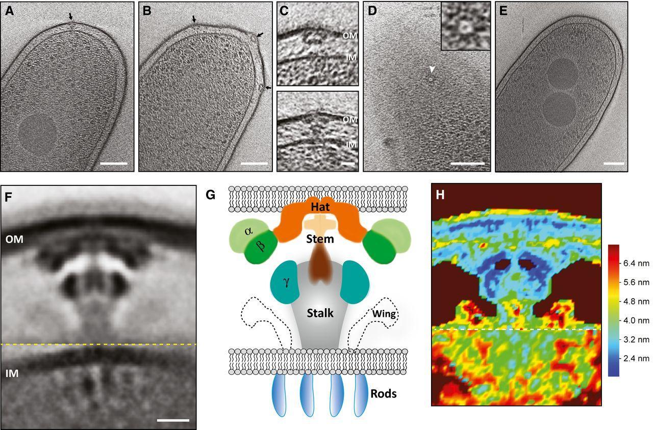 Ученые уточнили 3D-структуру бактериальной «машины смерти»