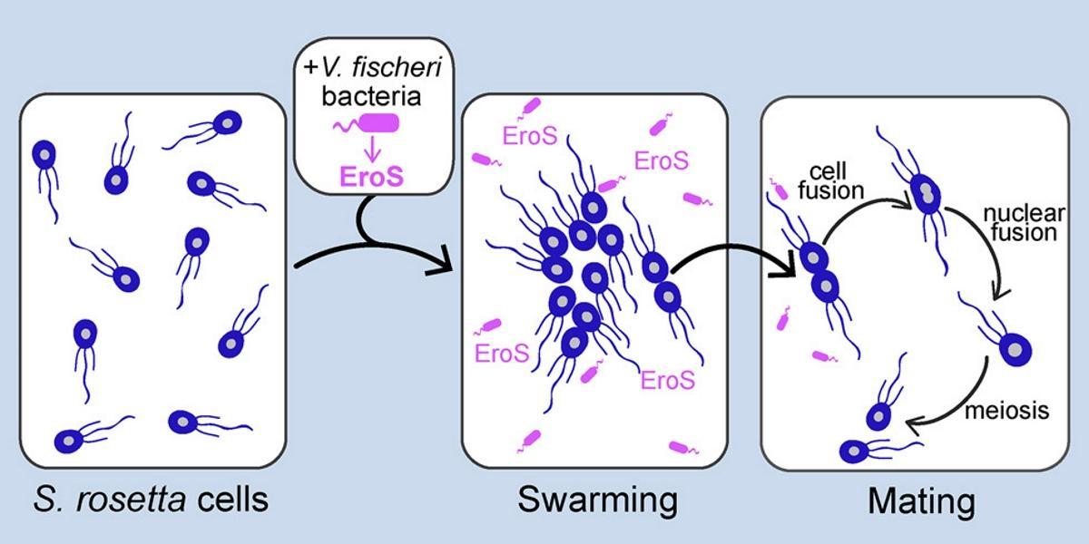 «Афродизиаки» бактерий стимулировали половой процесс простейших