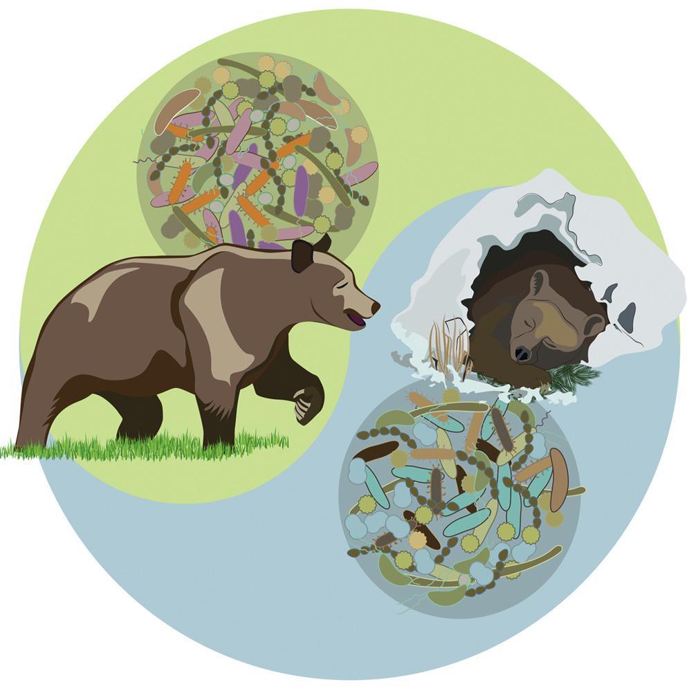 Медвежья микрофлора заставила мышей готовиться к спячке