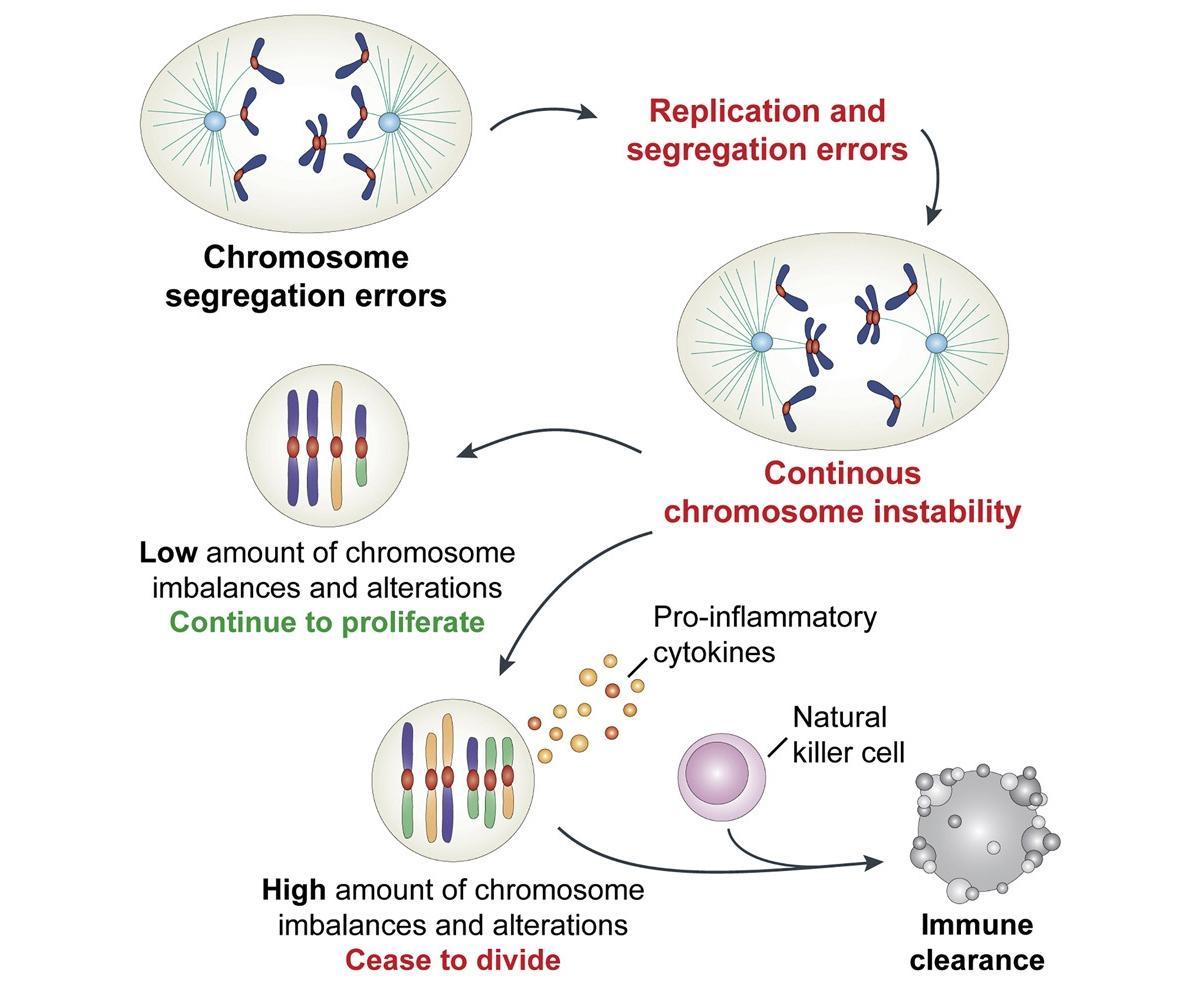 Иммунитет «считает» чужие хромосомы