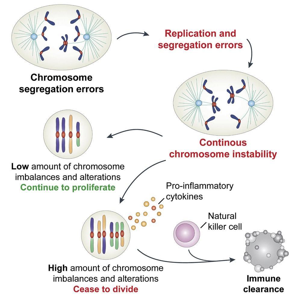 Клетки с неправильным набором хромосом попросили себя убить