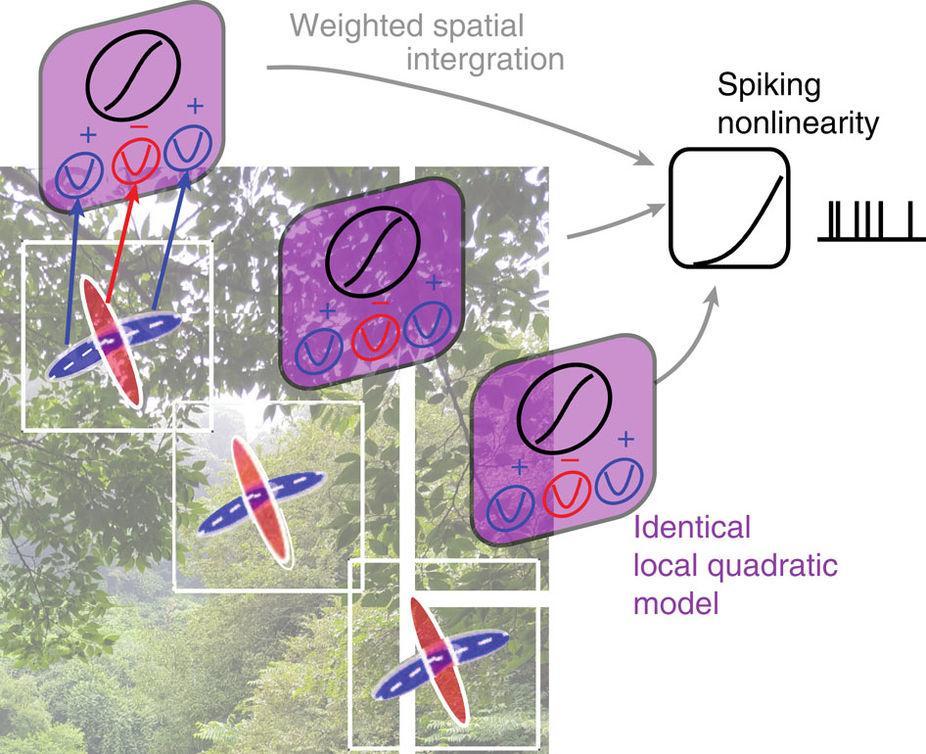 как нейроны зрительной коры реагируют на сочетание линий
