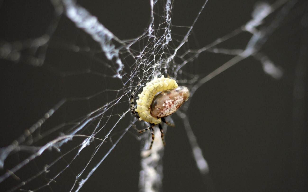 Наездники заставили пауков-зомби плести для себя коконы
