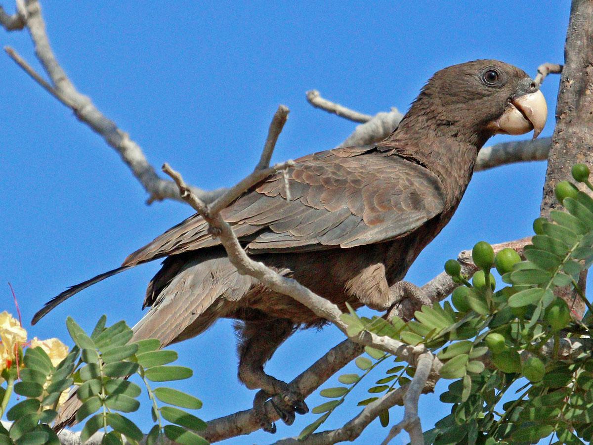 Попугаи научились делать примитивные мельничные жернова