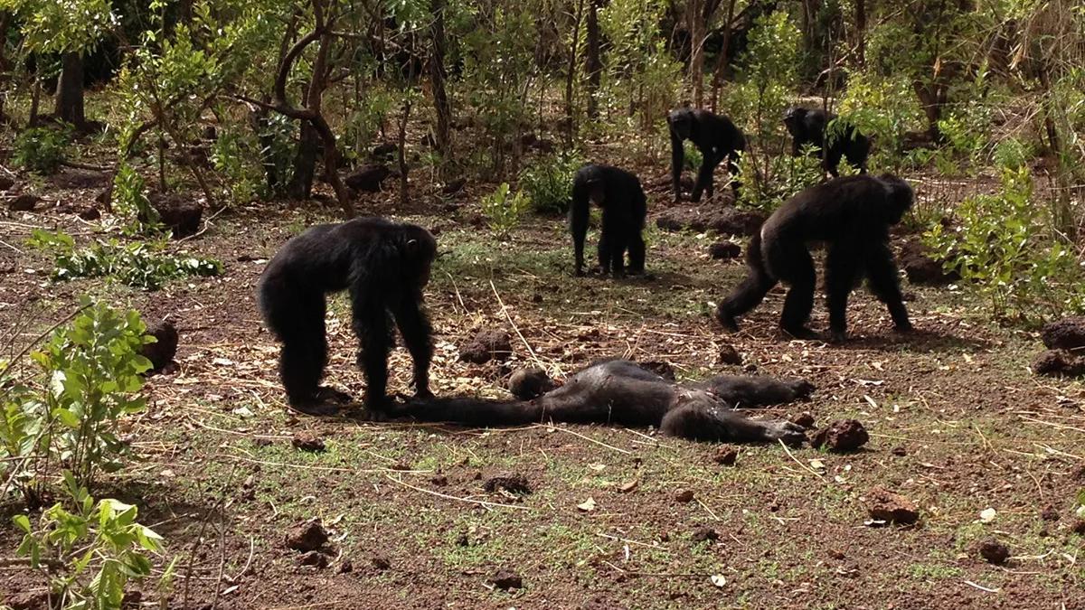 Шимпанзе убили и съели своего бывшего «лидера»