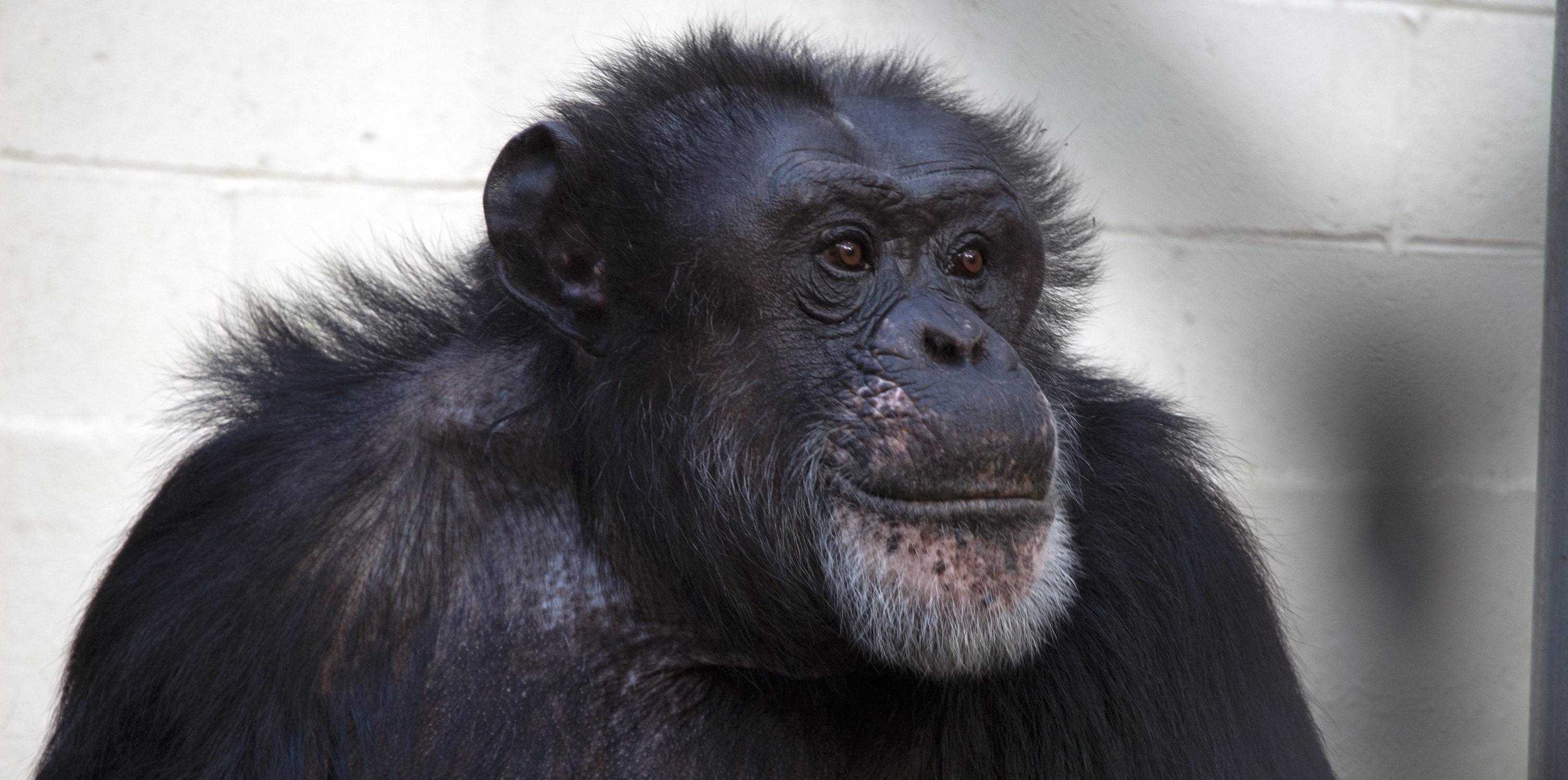У шимпанзе обнаружили зачатки рефлексии