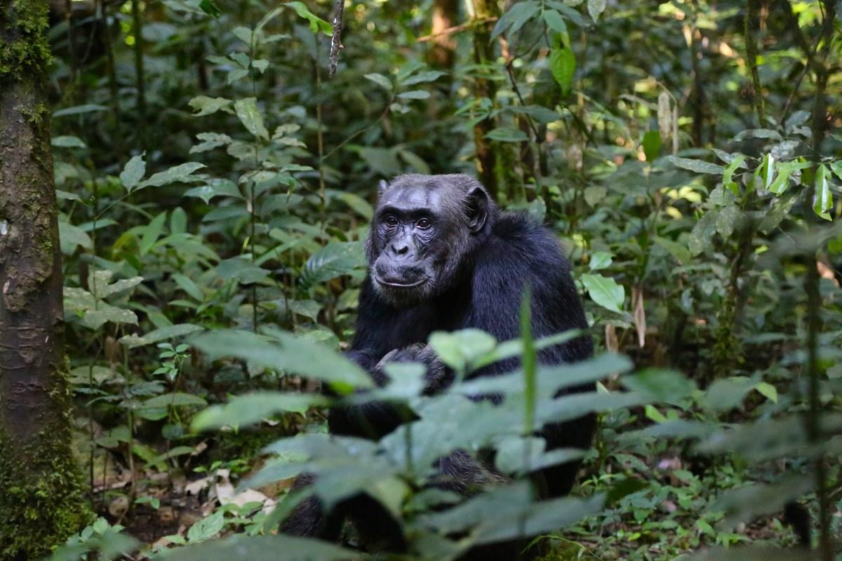 Надежда на размножение побудила самцов шимпанзе исполнять «воинский долг»
