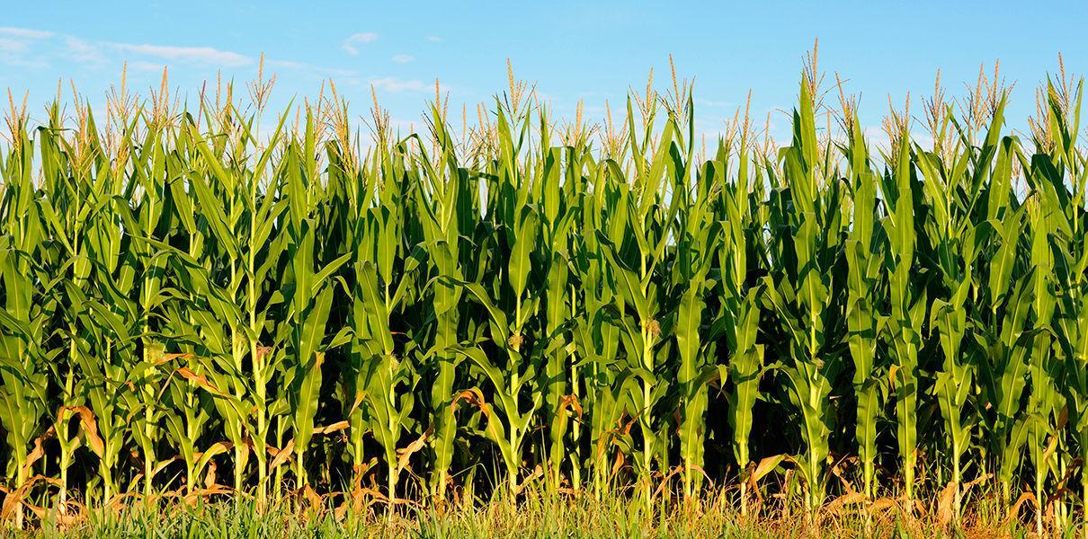 В США разрешили «вооруженную» РНК-интерференцией ГМО-кукурузу