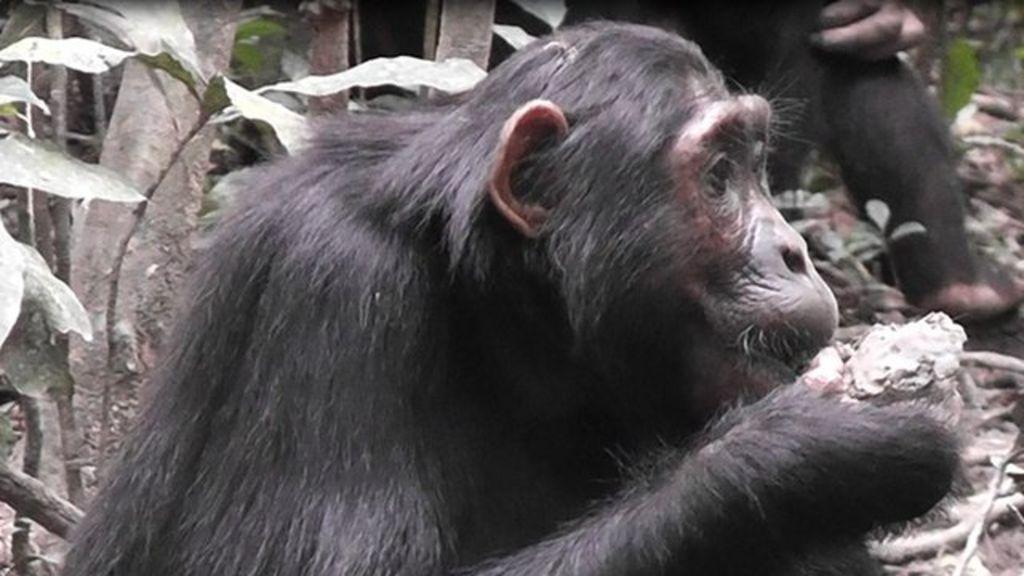 шимпанзе в Уганде начали объедаться глиной