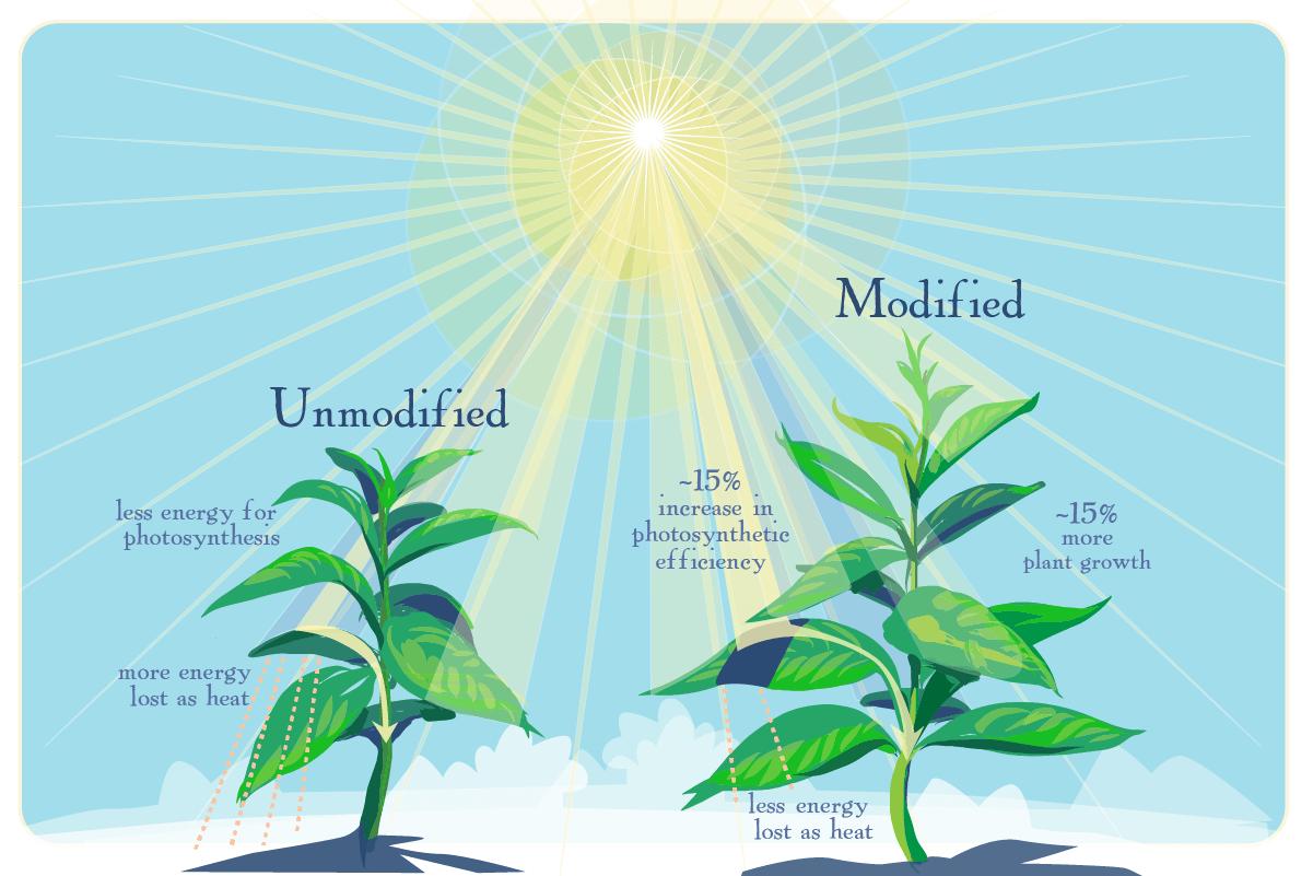 Растениям улучшили фотосинтез