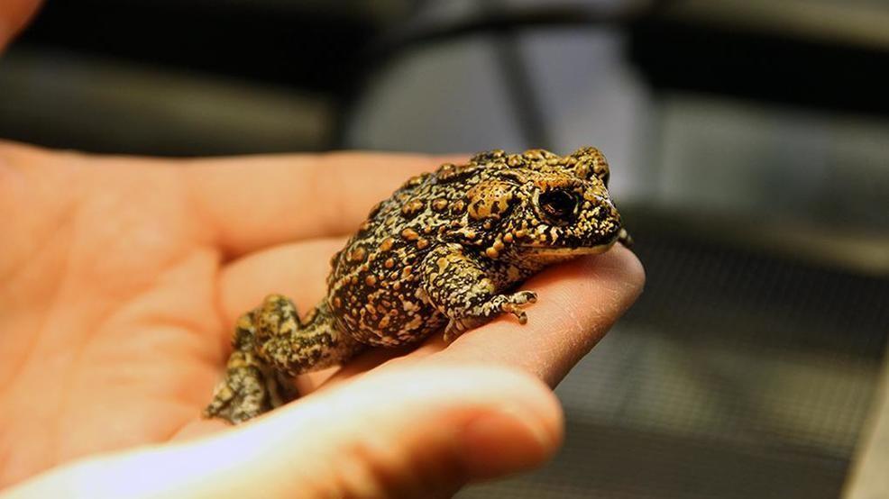 в Северной Америке нашли новый вид жаб