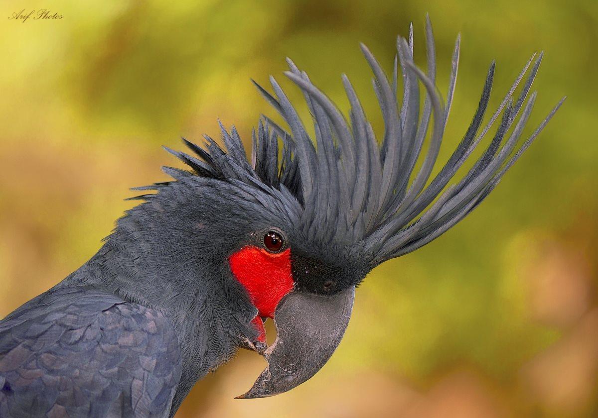 Попугай-ударник