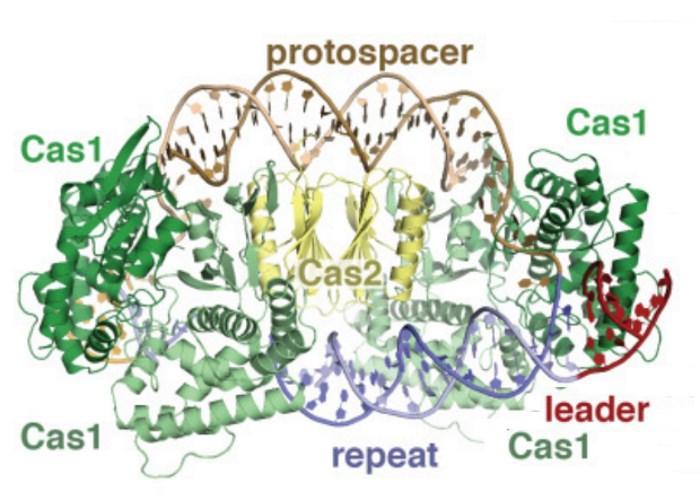 описан механизм записи новой информации в CRISPR