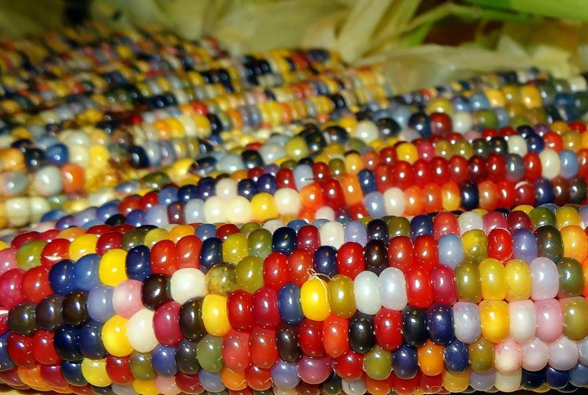 Биоинженеры упростили превращение злаков в ГМО