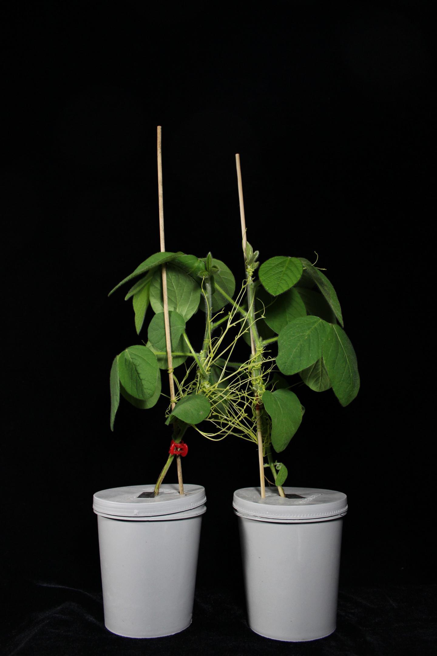 растения общаются с помощью повилики