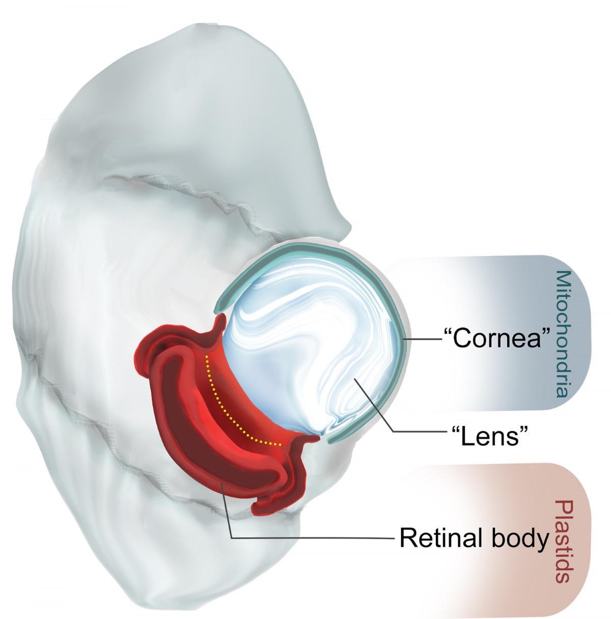 У одноклеточного нашли глаз с «хрусталиком» и «сетчаткой»