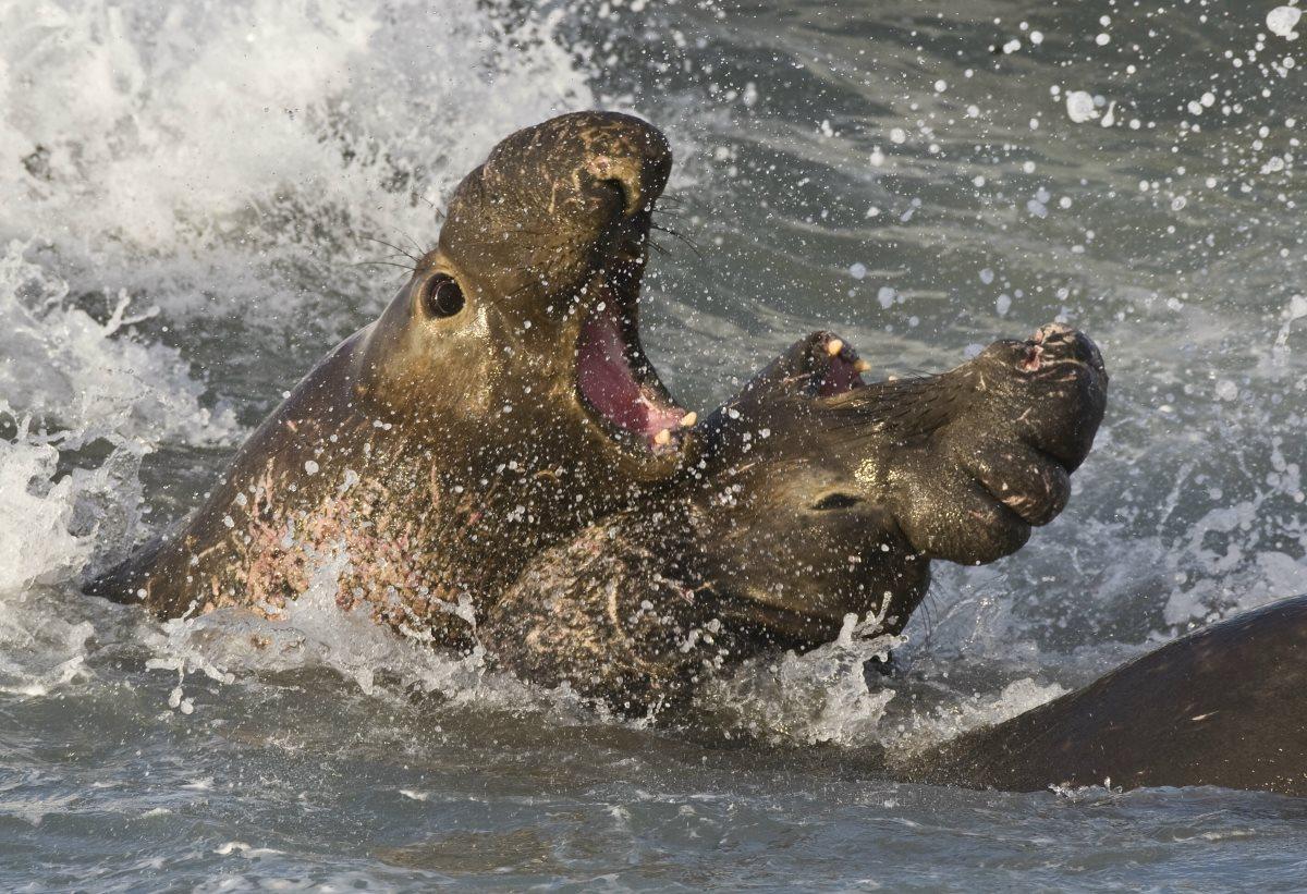 Единственным млекопитающим с ритмической памятью оказался морской слон