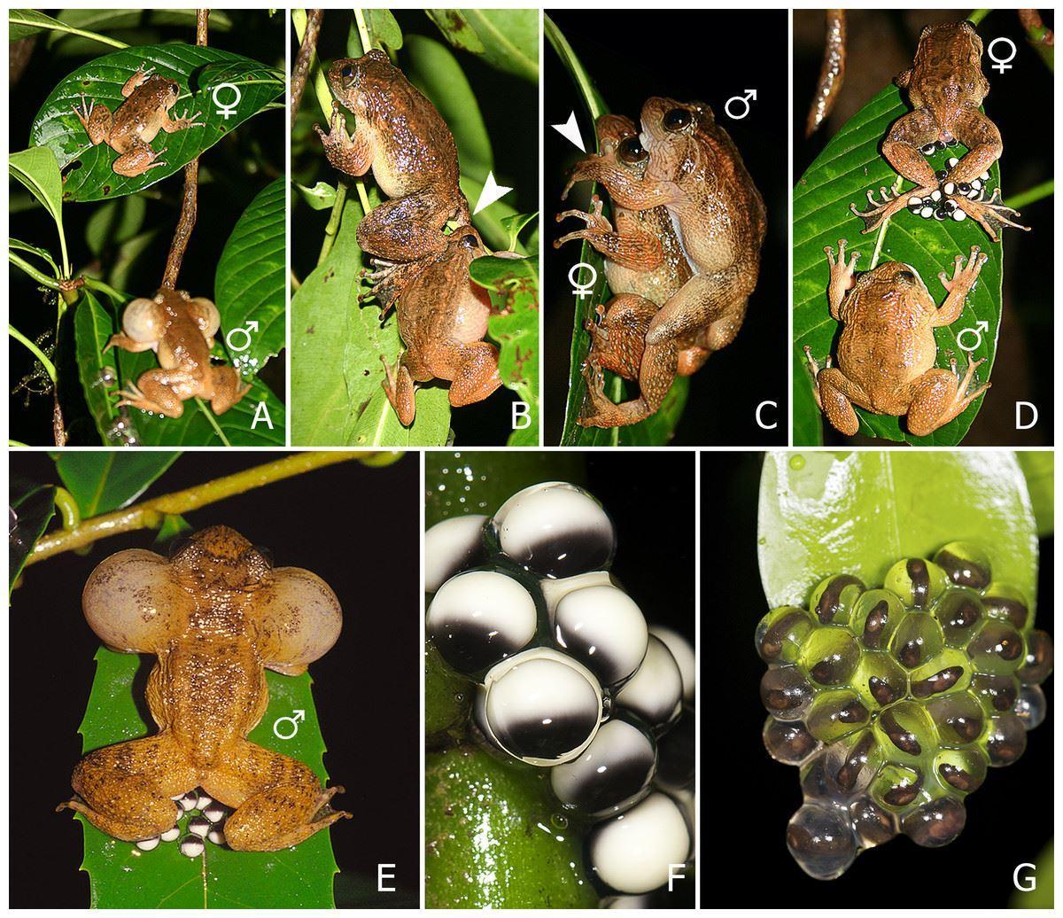 у лягушек обнаружили седьмой способ оплодотворения