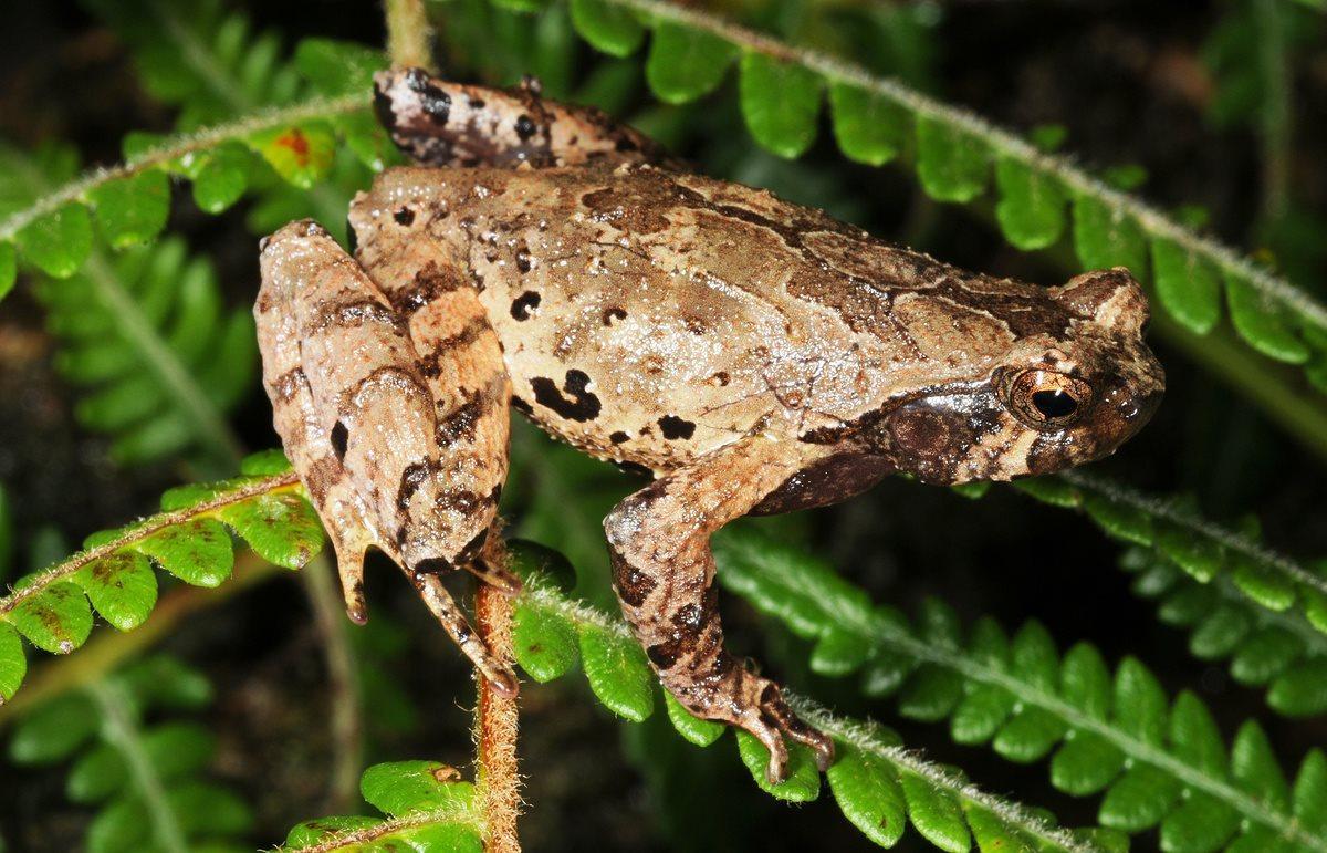 Российские зоологи обнаружили жаб-эльфов в горах Вьетнама