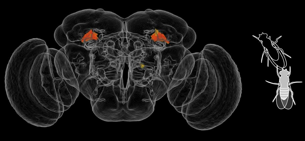 Поведение мух разобрали по нейронам